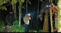 Kambing Warga Mati Diserang Beruang
