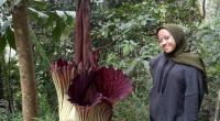 Warga Berswafoto Dengan Bunga Bangkai