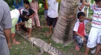 Seekor buaya muara saat ditemukan warga di Sungai Pasar Baru Bayang-Pessel