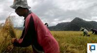 Ilustrasi masa penen padi di Pessel