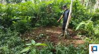 Jasman menunjukkan lokasi sapi dikuburkan usai diterkam harimau