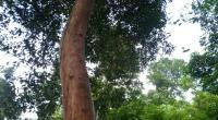 Pohon Kayu Kulit Manis (casiavera) yang telah dicuri kulitnya dengan cara ditungkai