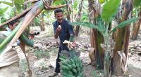 Firdasu alias Pak Kasih saat panen pisang Kepok Tanjung di Kebunnya di Batu Palano, Selayo-Kab. Solok