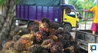 Petani usai memanen kelapa sawit di Pessel
