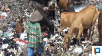 Sapi disekitar lokasi pembuangan sampah (dokumentasi klikpositif.com)