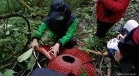 Bunga Raflesia ditemukan mekar di Cagar Alam Maninjau