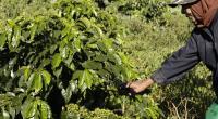 Petani memanen Kopi yang dikembangkan koperasi Kopi Solok Rajo di Kecamatan Lembah Gumanti