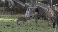 Bayi rusa yang lahir pada Rabu, 28 Juli 2021 mendekati induknya di kawasan Taman Kehati PT Semen Padang