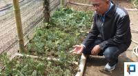 Revi dan Tanaman Taxus yang Dibudidayakan