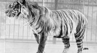 Foto seekor Harimau Jawa yang kini telah dinyatakan punah.