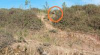 Tertangkap kamera warga, begini penampakan Harimau Sumatera yang muncul di kawasan Simpang Tanjuang Nan Ampek, Kecamatan Danau Kembar, Kabupaten Solok - Sumbar