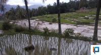 Kondisi salah satu areal persawahan yang terdampak banjir di Lima Puluh Kota