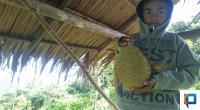 Durian asal Ganting Kubang Pessel