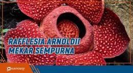 Indahnya Bunga Rafflesia yang Mekar di Batang Palupuah